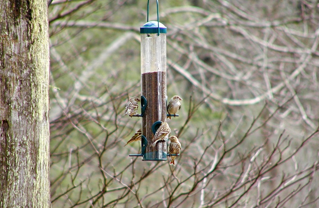 Five brown and white streaked birds at a birdfeeder hanging near bare-branched trees
