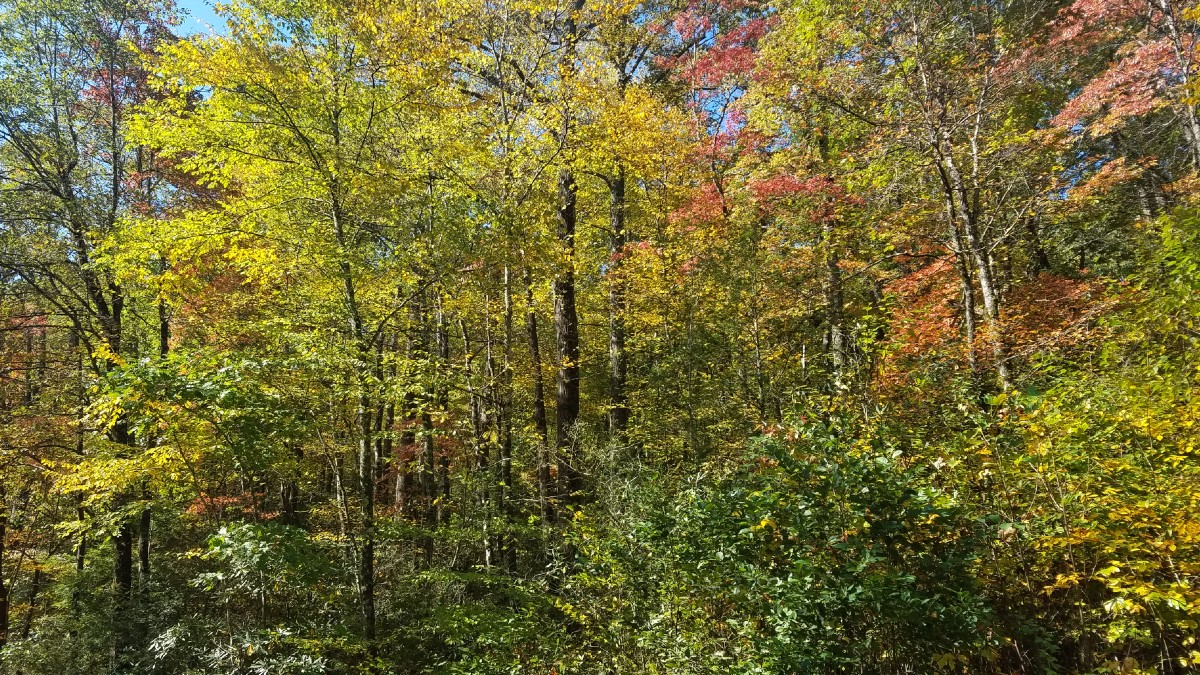Tall leafy trees in the forest in varying fall color shades