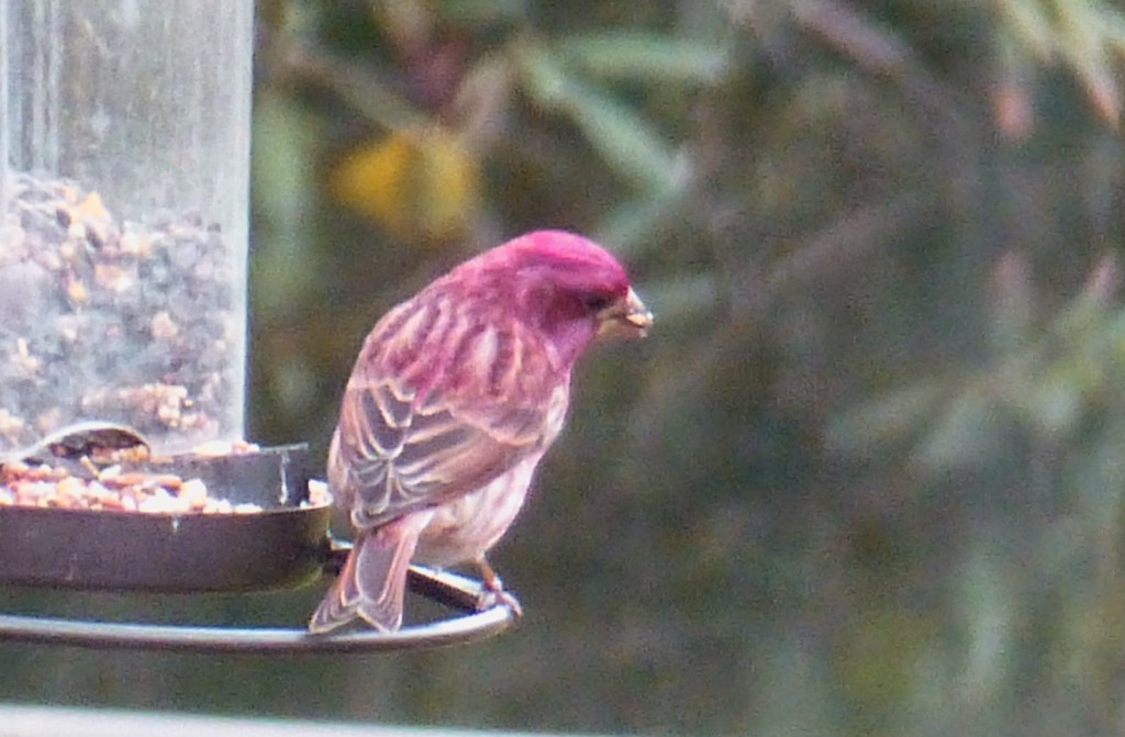 Bird with raspberry colored head and dark wings and tail eating seed from a birdfeeder