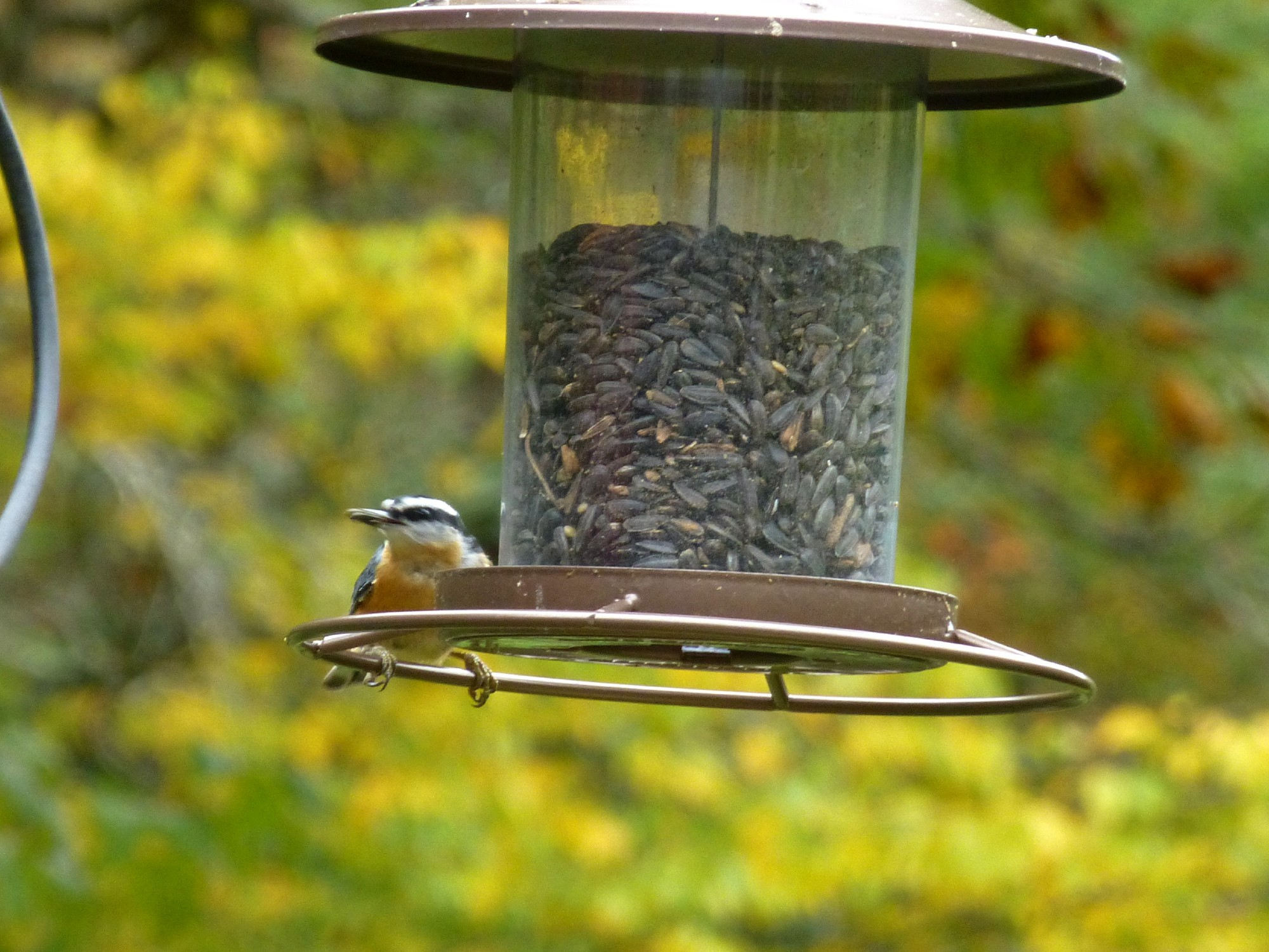 Red-breasted nuthatch bird on a bird feeder