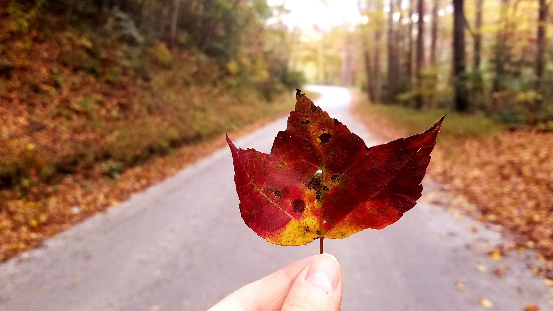 Fingers holding maple leaf with a leaf-covered forest road in the background