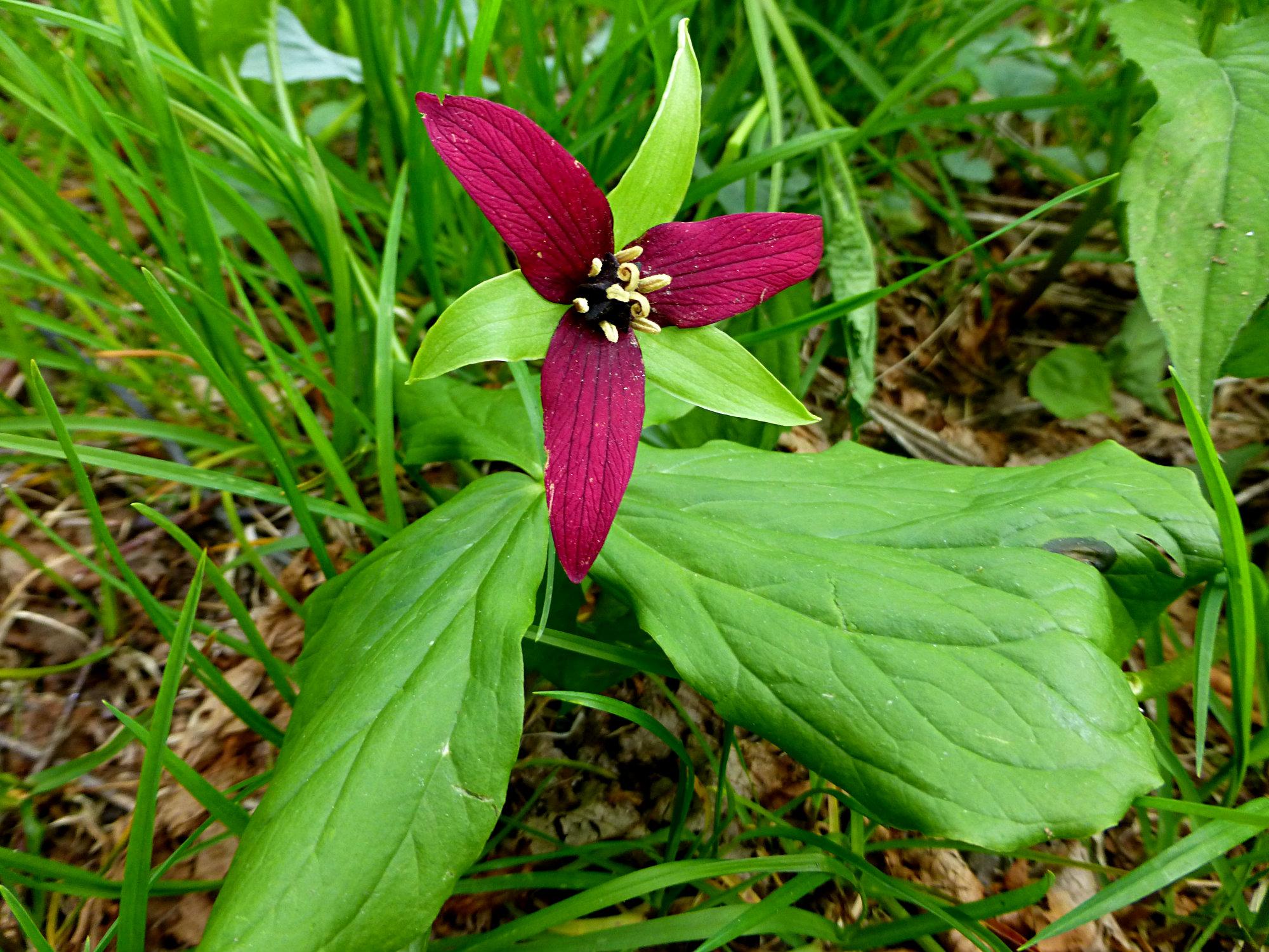 Red Trillium Craggy Gardens 050916