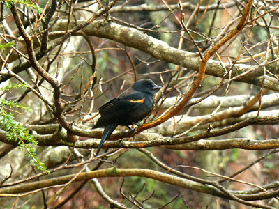 Black bird with orange and yellow wingbar perched on a tree branch in the woods