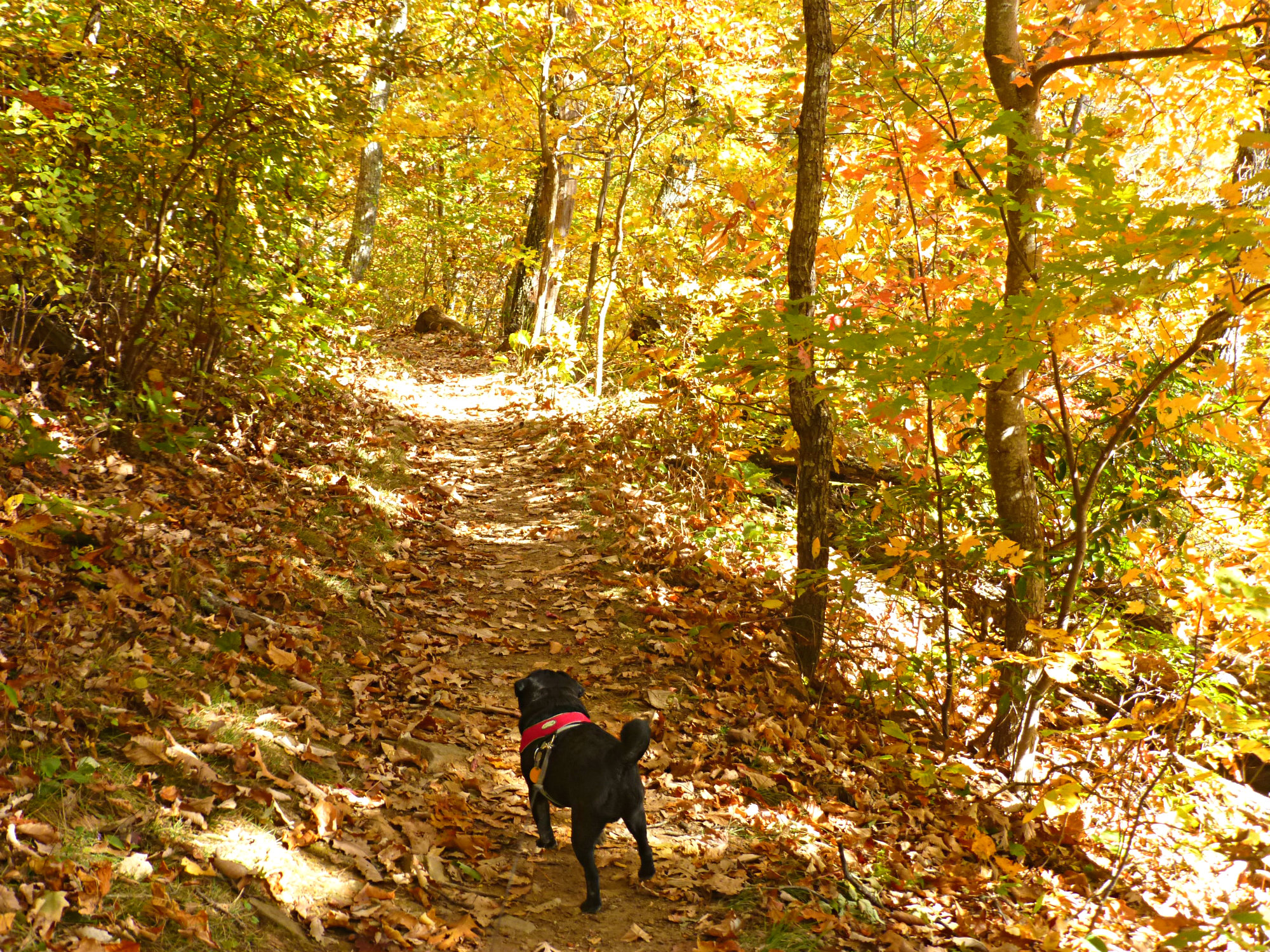 Adorable little dog staring down a beautiful hiking trail in the woods with full fall color