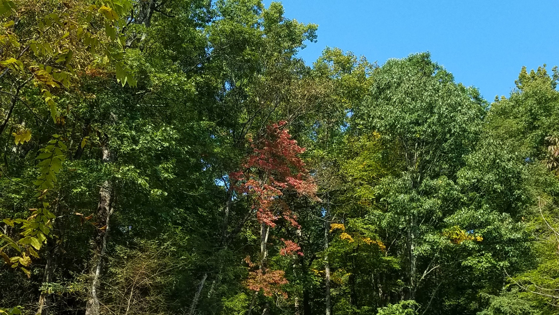 Tall trees full of leaves and a clear sky