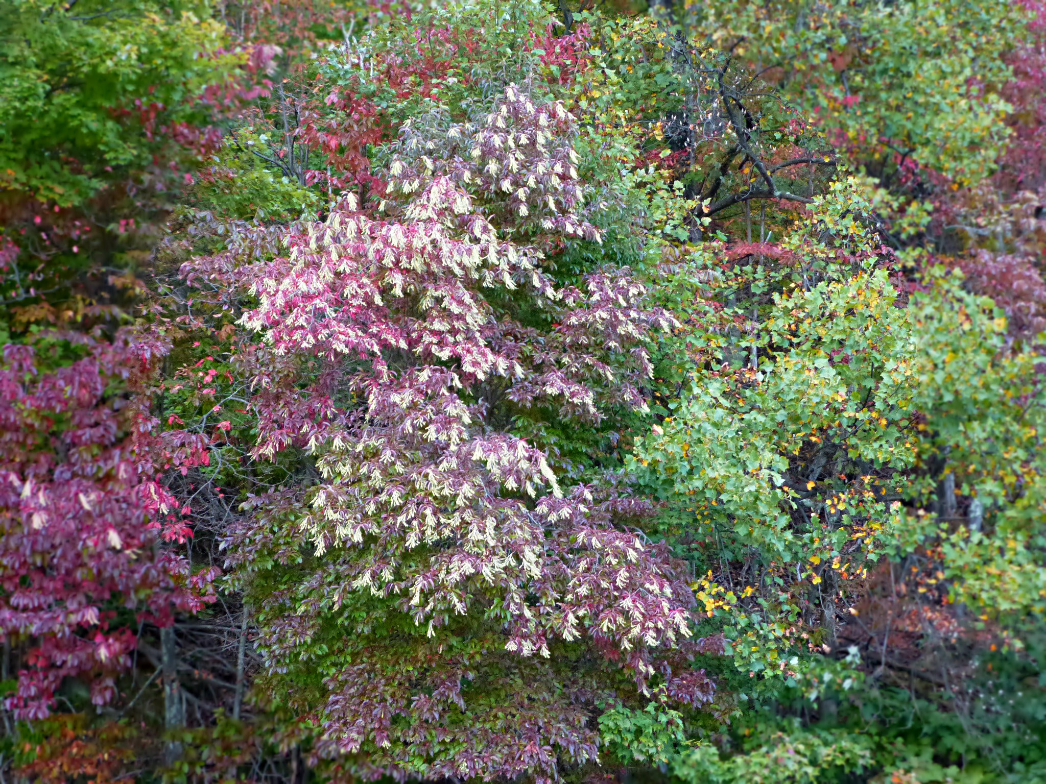 Background of trees with one that is dark red loaded with white flower fronds