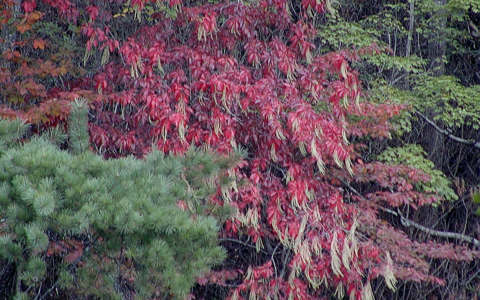 Tree with bright red leaves and clusters of flowers hanging from the branches