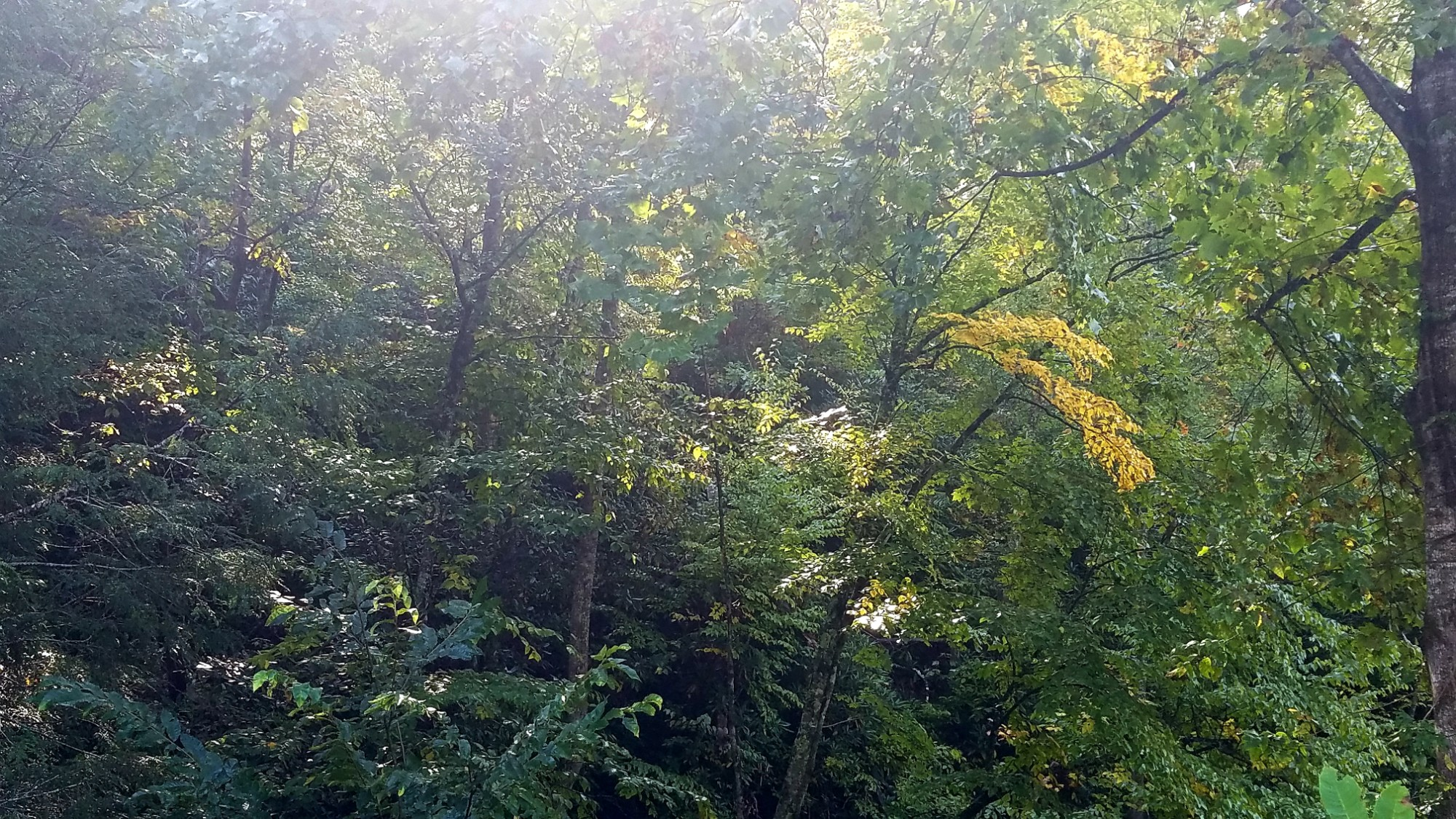 Sunshine shining through a wooded hillside covered in leafy trees, some of which are showing fall color