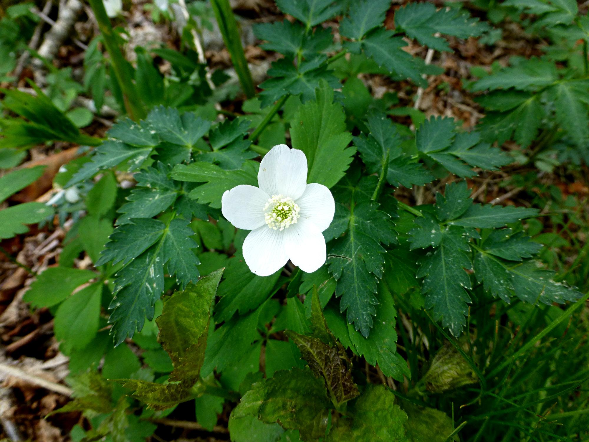 White Wildflower Craggy Gardens 050916