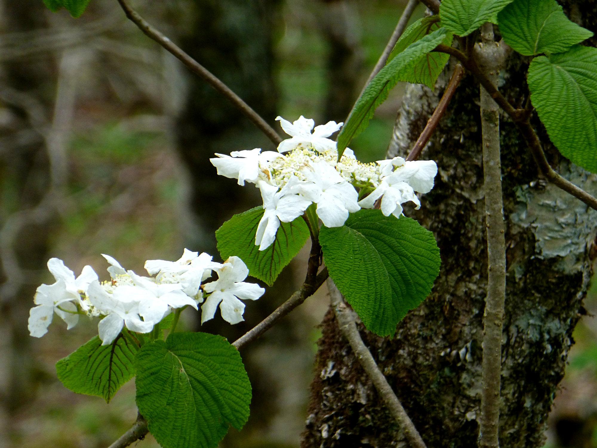 Wild Hydrangea Craggy Gardens 050916