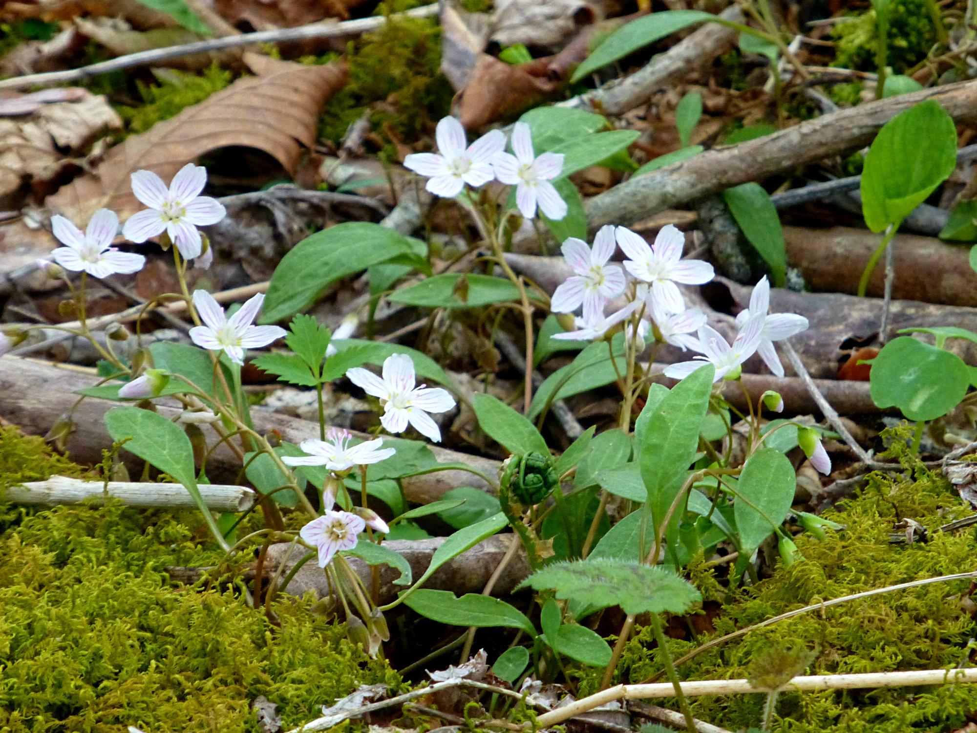 Wild Wood Geranium Craggy Gardens 050916