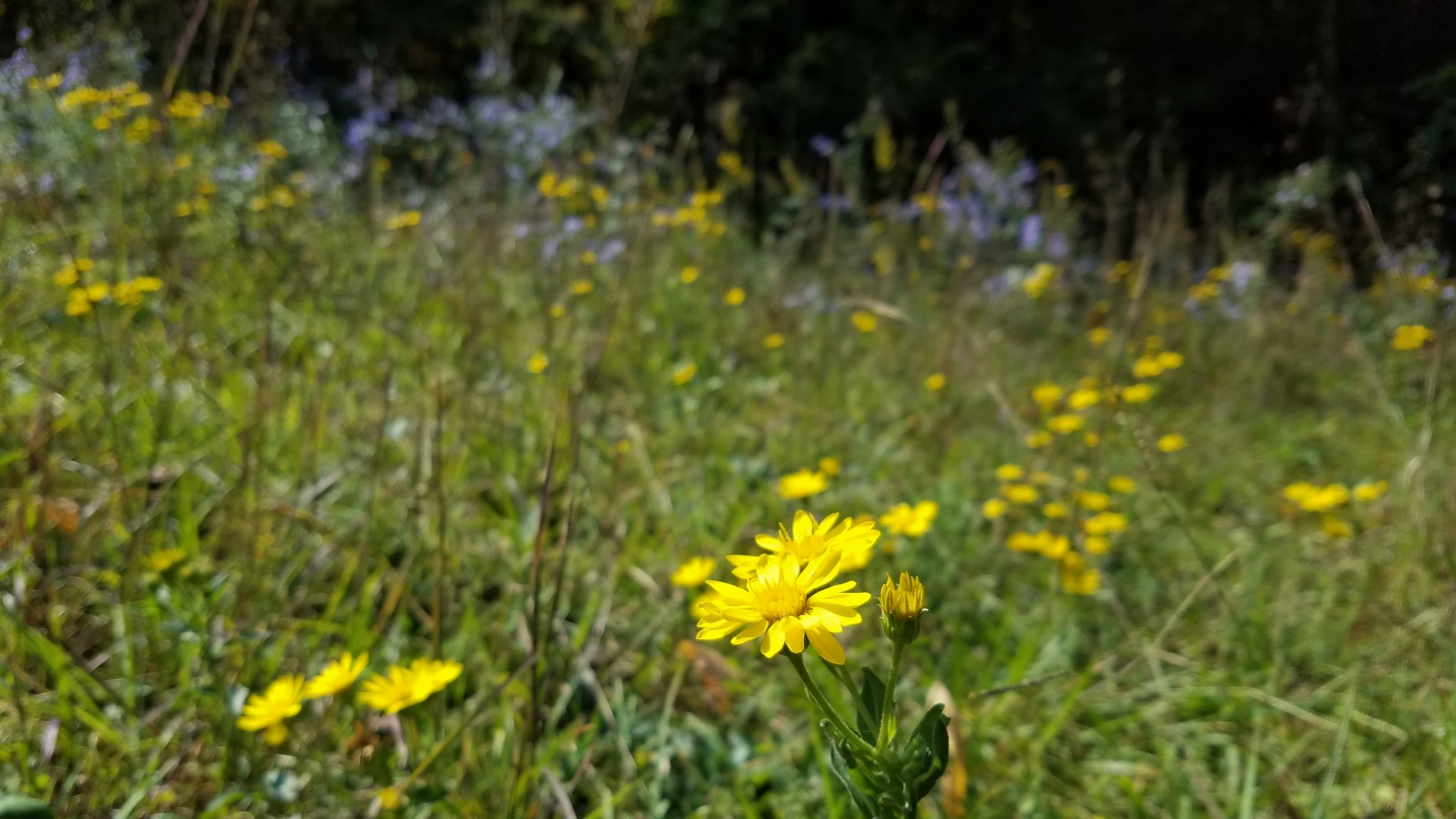 Closeup of daisies and other wildflowers on a hillside