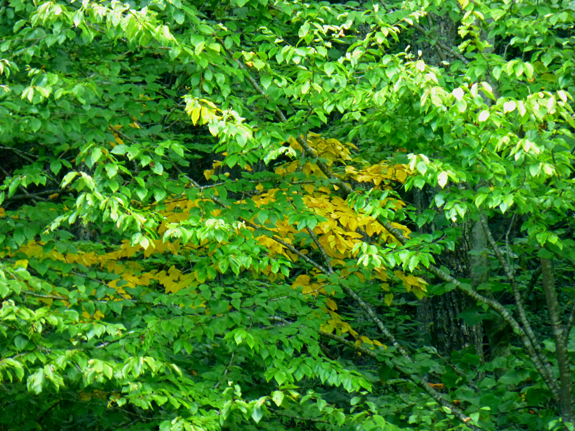 yellow-fall-leaves-early-october-2016