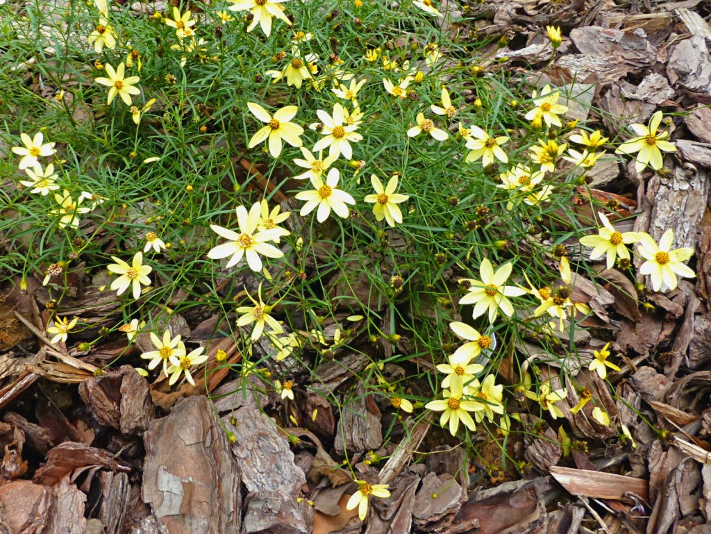 Plant with clumps of skinny stems with yellow flowers in a mulch bed