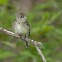 acadian flycatcher wiki commons