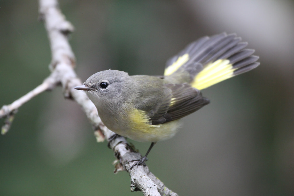 Small gray and yellow bird perched on a branch with tail feathers fanned out