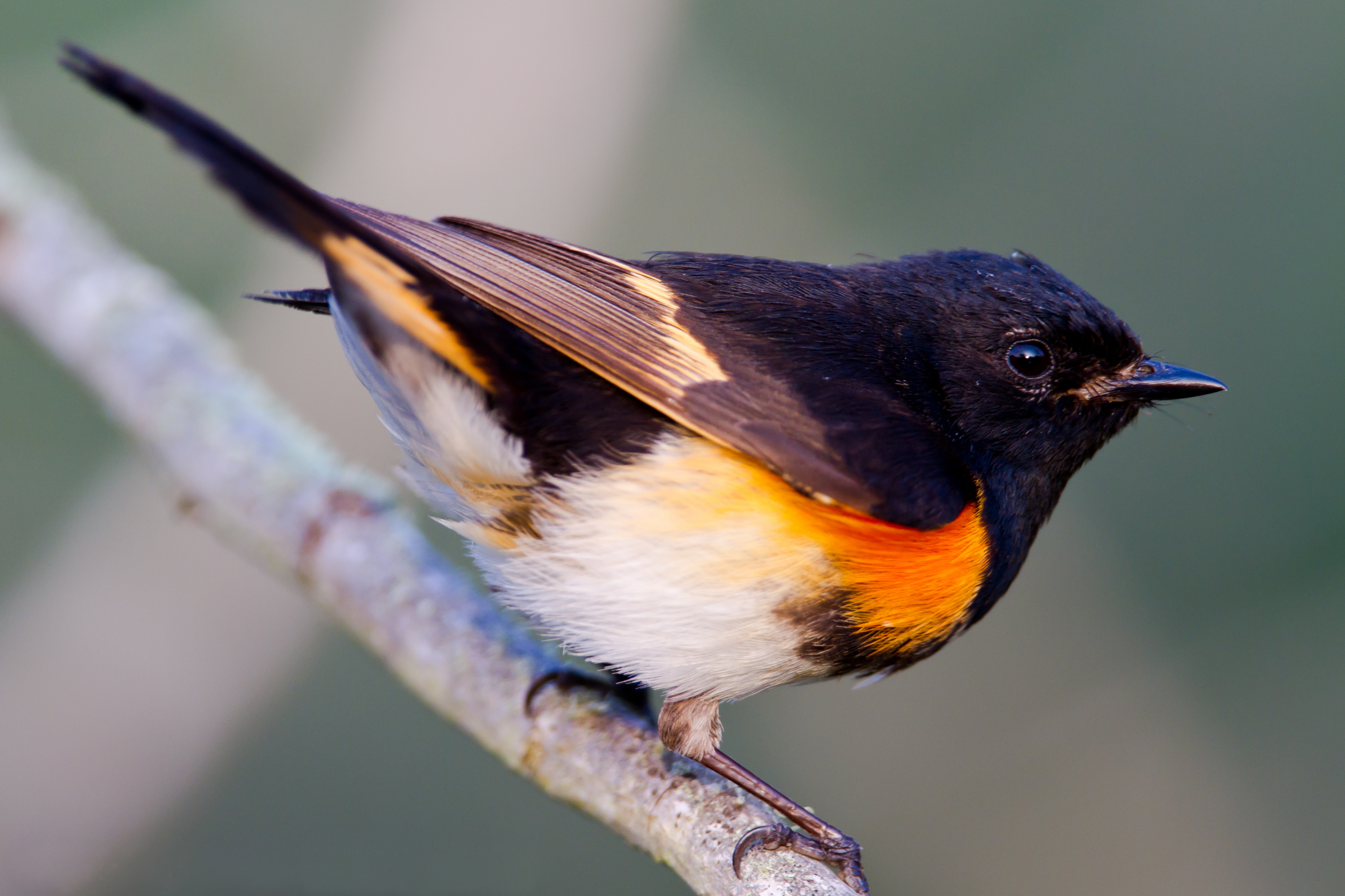 Bird with black head and orange chest perched observantly on a tree branch