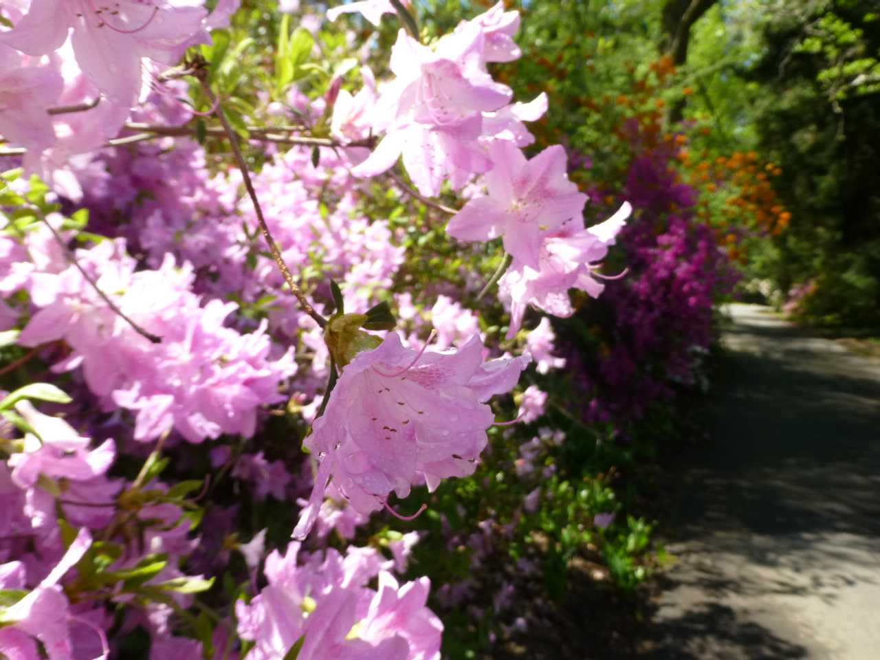 Close-up of pink clusters of flowers on a shrub along a path with other flowering shrubs
