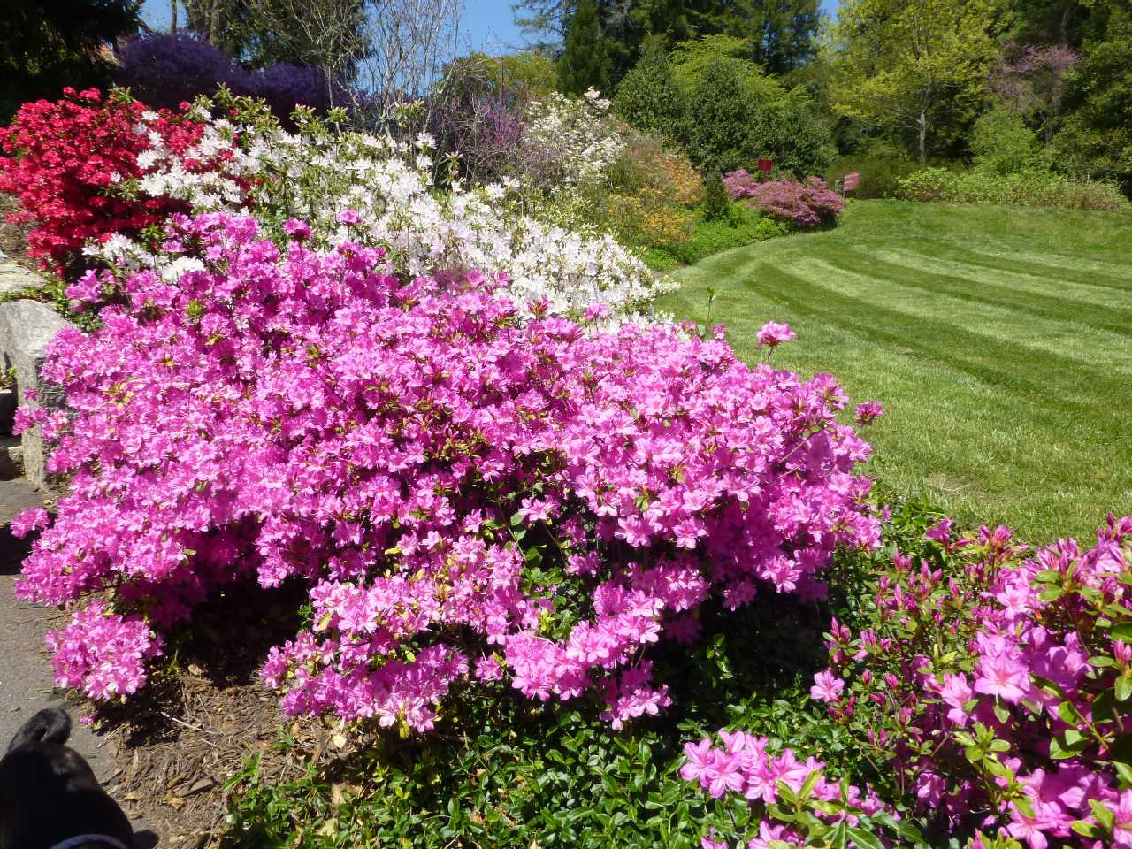 Manicured lawn flanked by several large flowering shrubs on one side