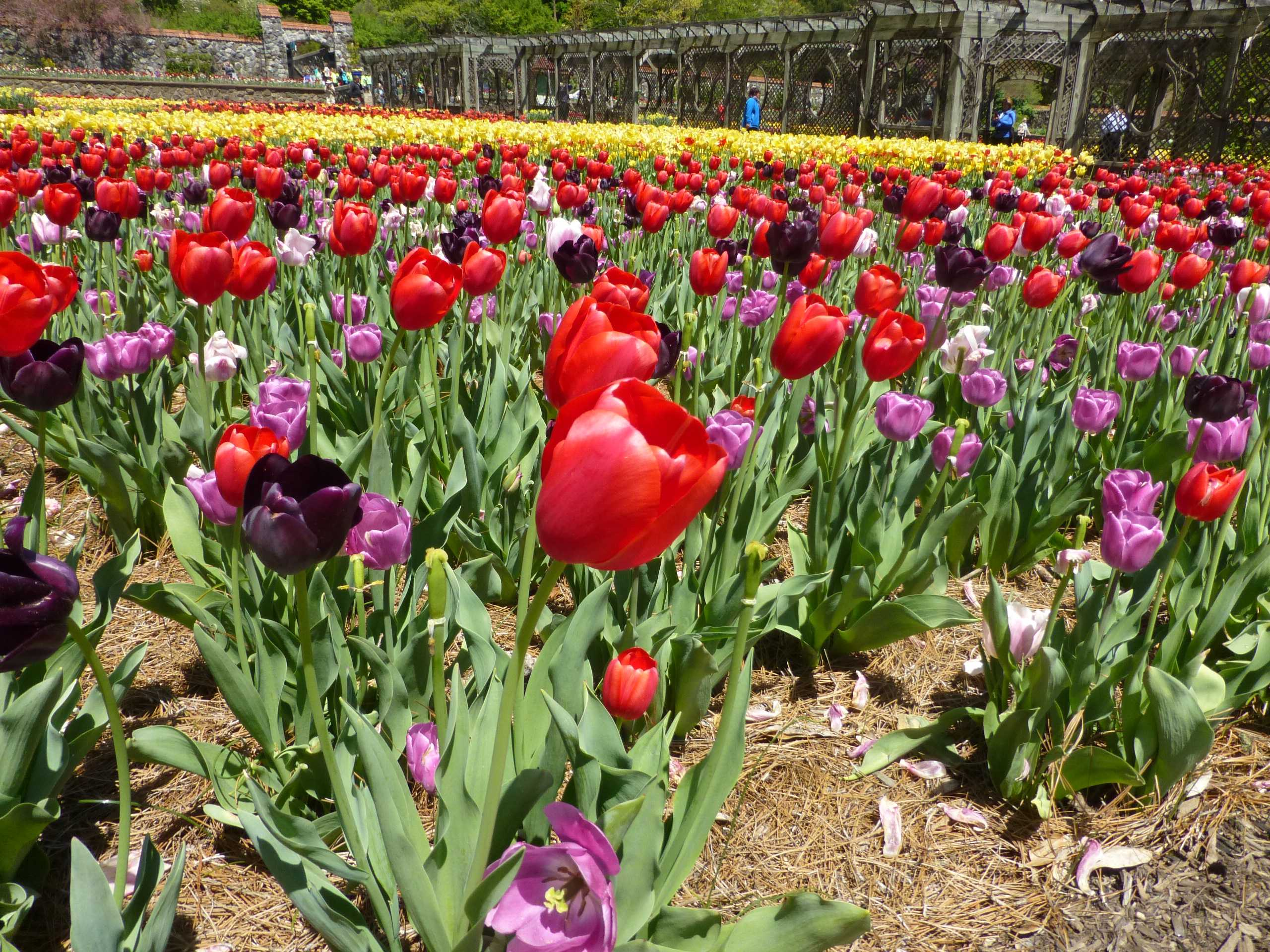 Thousands of flowering tulips in several different colors in a garden