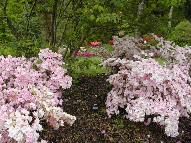 Two pink flowering shrubs with various flowering shrubs behind them in a park-like garden