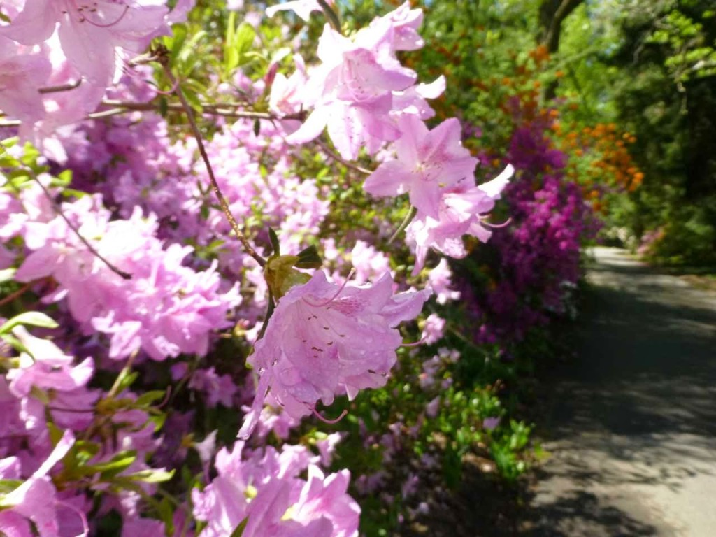 Close-up of pink flowering shrub along a garden path with other flowering bushes