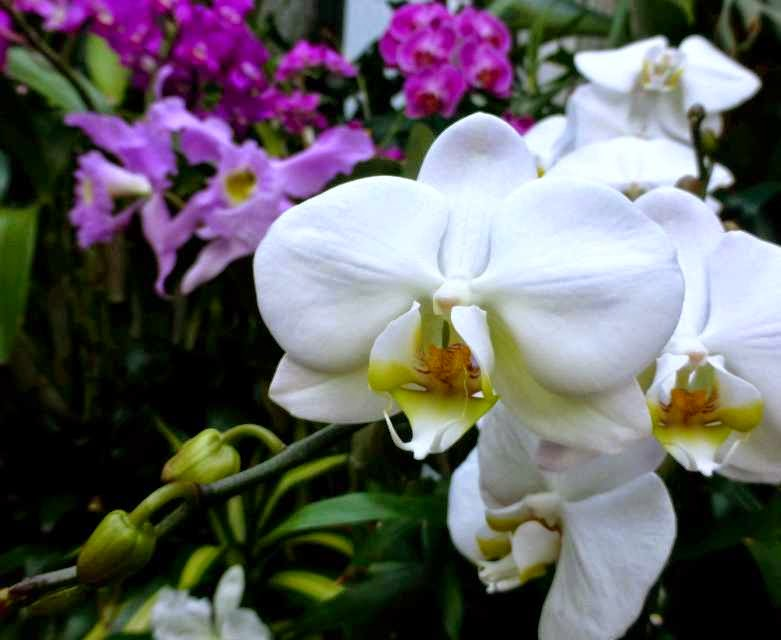 Close-up of white orchid flowers with broad petals and with purple flower clusters in the background