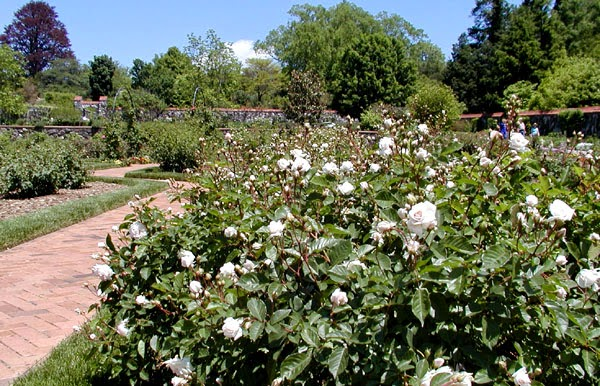 White rose bush in full bloom in a garden with other roses and a brick path