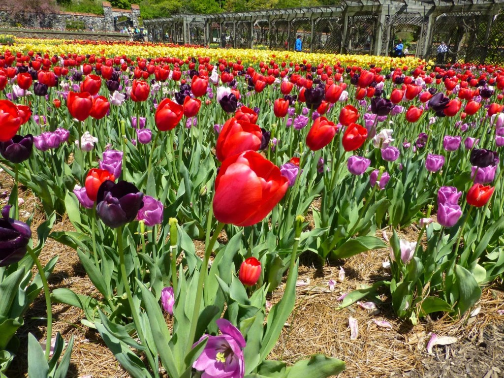 Masses of tulips in different colors in a formal garden with an arbor in the background