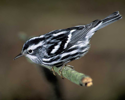 Small bird with black and white striped body standing on a branch