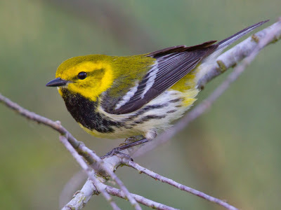 Yellow headed bird with black throat and black and white wings and chest perched on a branch