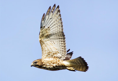 Stocky white and brown raptor with long wings flying through the air