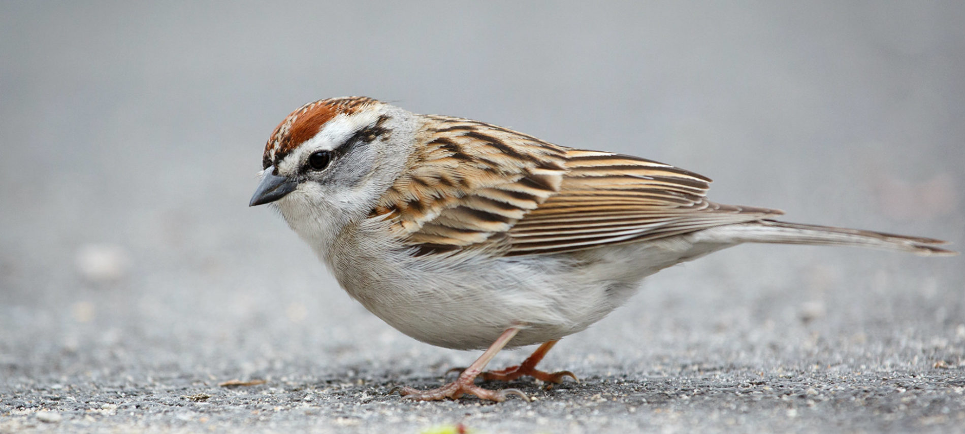 Chipping Sparrow By Vkulikov (Own work) [CC BY-SA 3.0 (http://creativecommons.org/licenses/by-sa/3.0)], via Wikimedia Commons