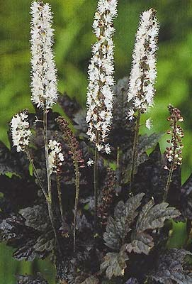 Plant with broad pointed black leaves and white flower stalks