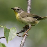 common-yellowthroat-female-kelly-colgan-azar