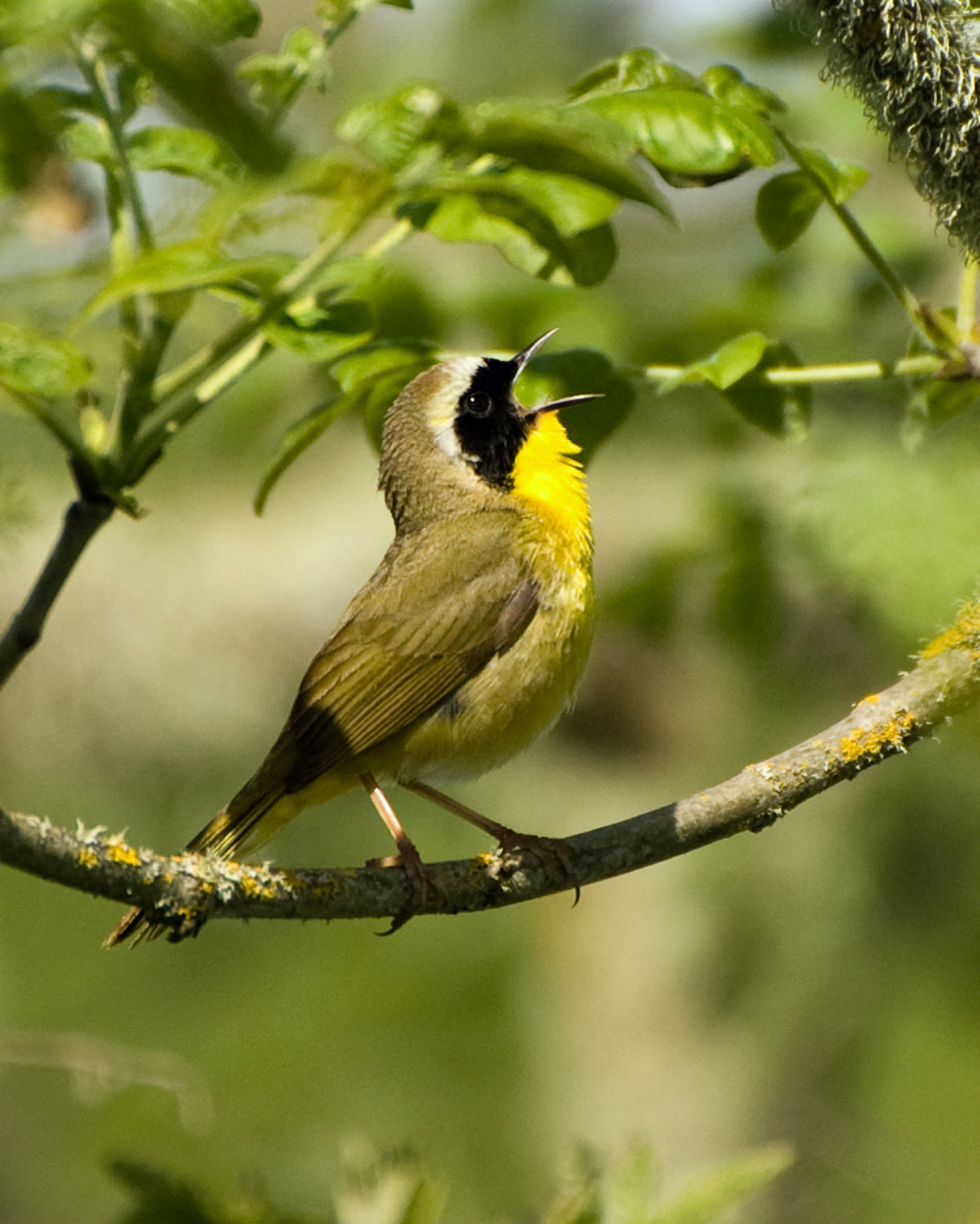 Small bird with black mask singing while perched on a branch