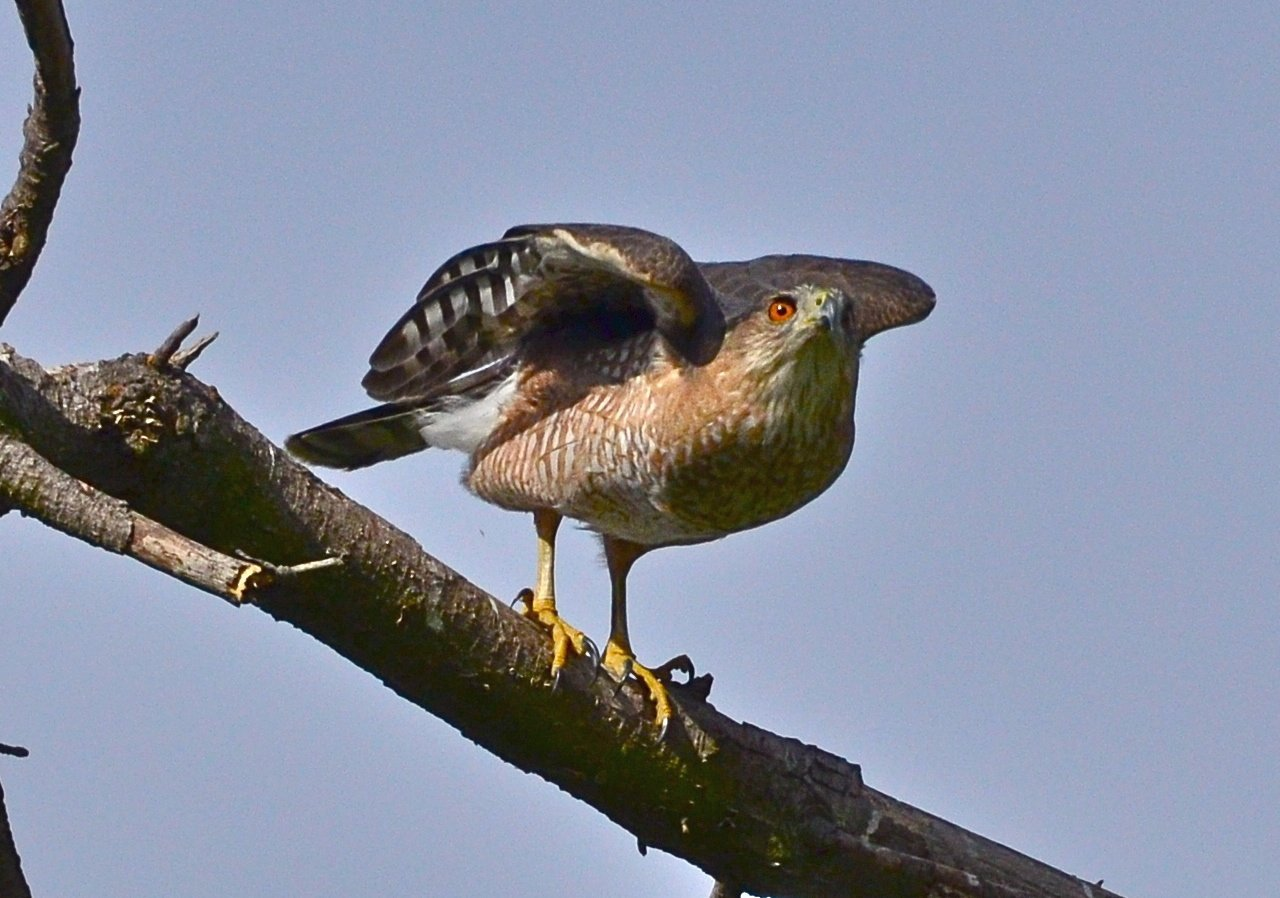 North Carolina Mountain Birds Cooper S Hawk