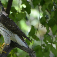 Cooper's Hawk [photo credit: https://www.flickr.com/photos/wildreturn/8474601987/}