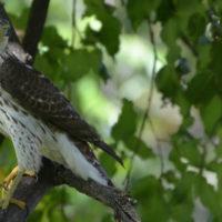 Cooper's Hawk [photo credit: https://www.flickr.com/photos/wildreturn/8474601987/}