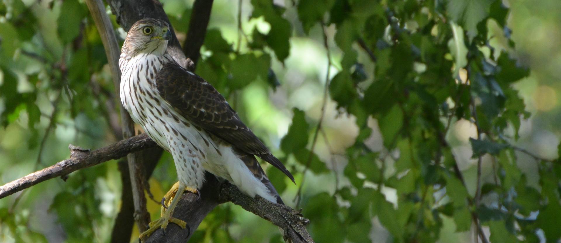 North Carolina Mountain Birds: Cooper's Hawk