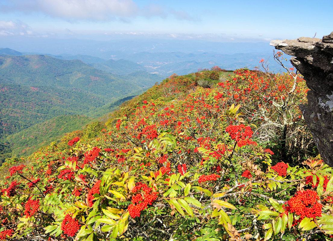 Expansive mountain view with trees in the foreground that are loaded with berries