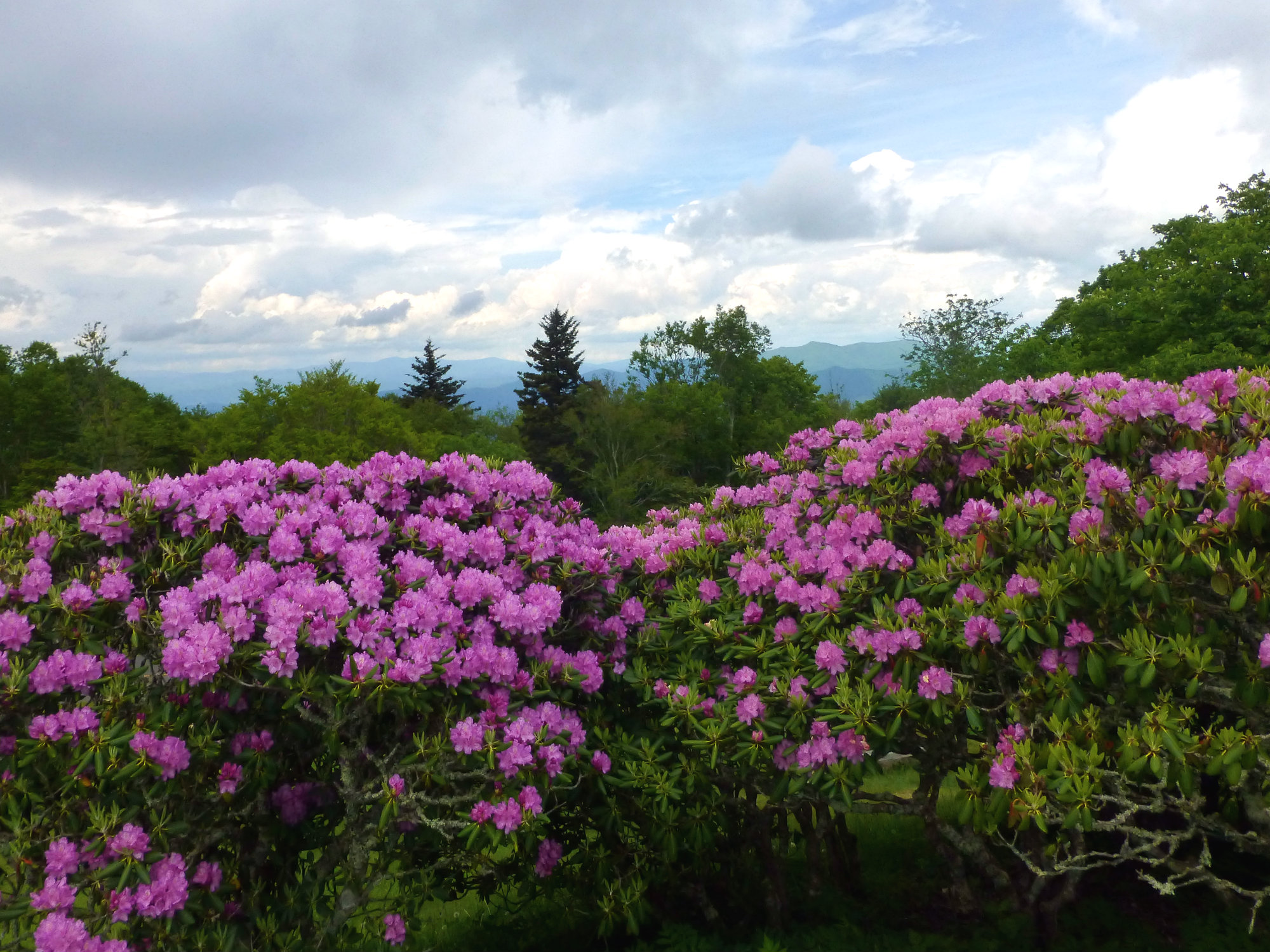 Large flowering shrubs with mountain vistas in the background