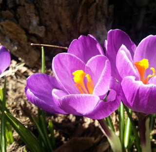 Two purple crocuses blooming in the sunshine