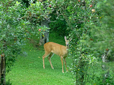 Deer standing in an apple orchard