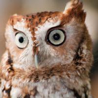 Eastern Screech Owl by Albert Herring https://commons.wikimedia.org/wiki/File:WR_-_Eastern_Screech_Owl_4_(5761936594).jpg
