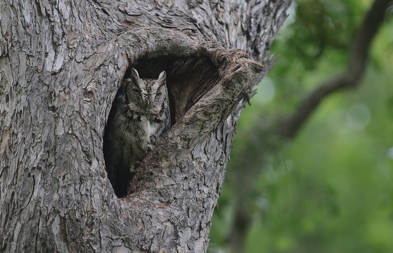 eastern-screech-owl-gregory-smith