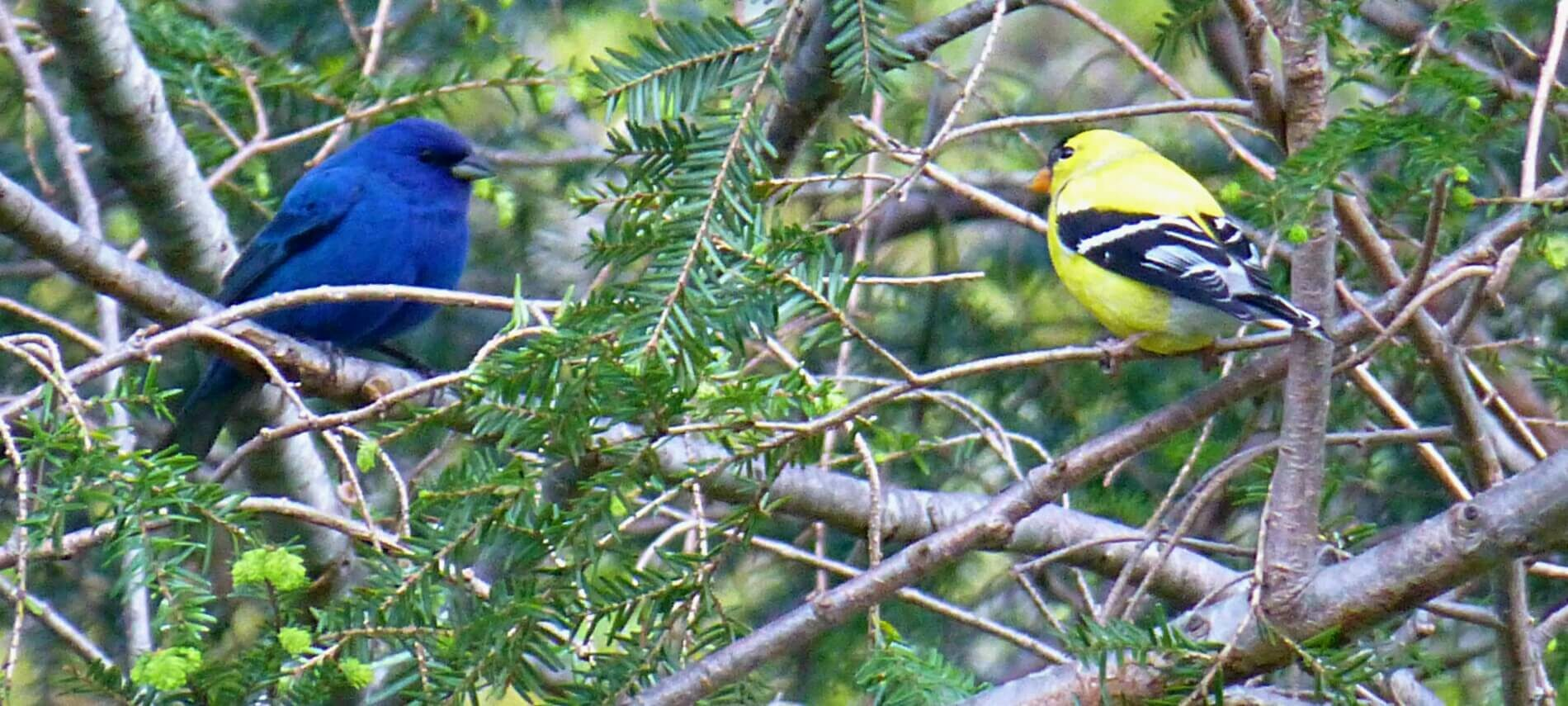 Two stout birds facing each other on evergreen tree branches, one bright blue and the other yellow with black and white wings
