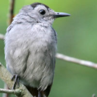 Gray Catbird by John Benson via Flickr