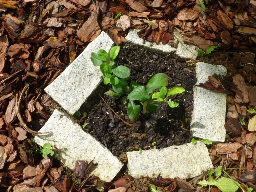 Small leafy plant surrounded by granite brick pavers in a mulch bed