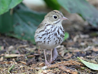 Small brown and white speckled bird with pink legs walking on the forest ground